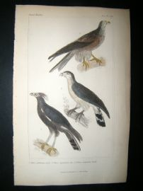 Cuvier C1835 Antique Hand Col Bird Print. Falcons 3